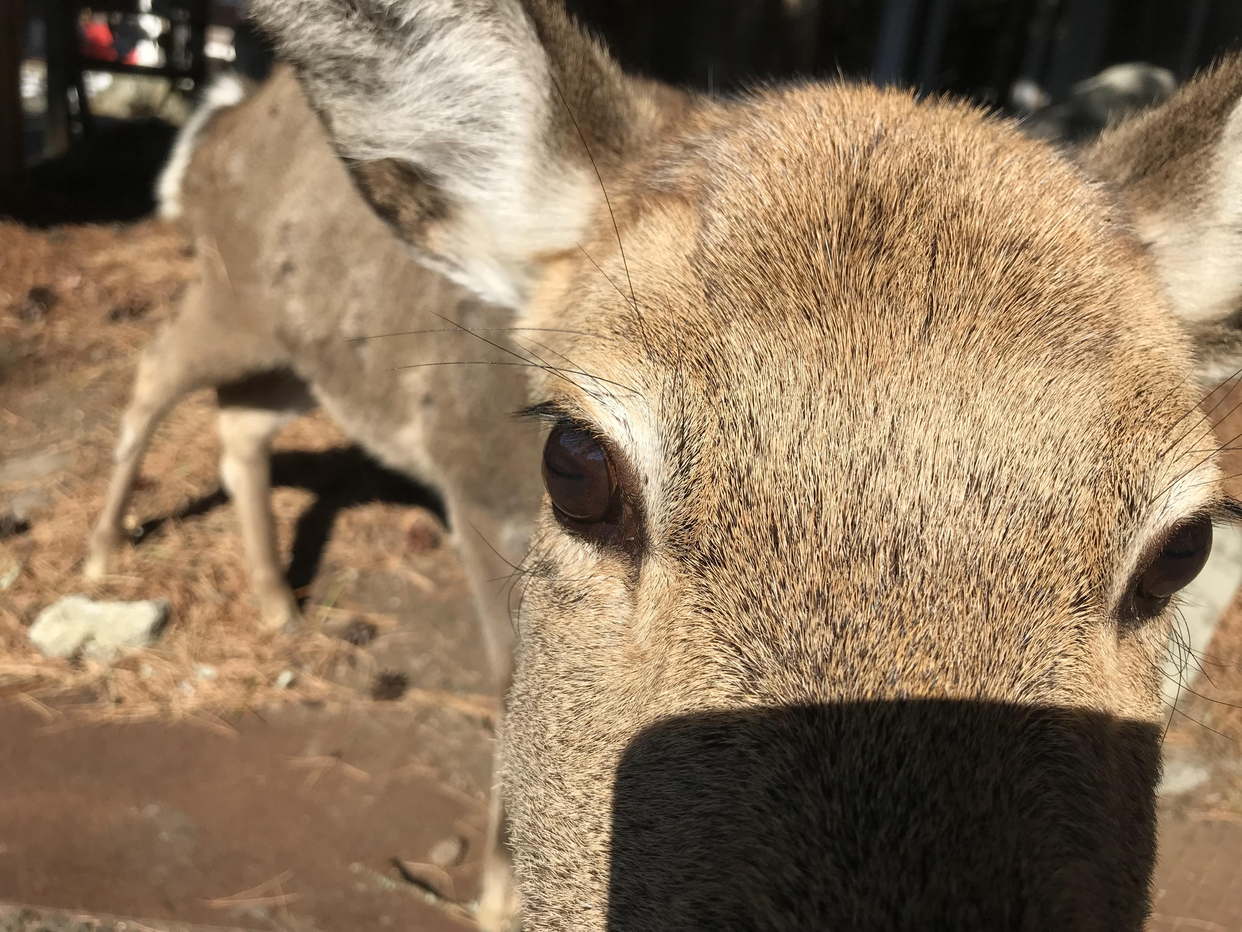 金華山行ってみた、鹿ちゃんとゴマキ奉納